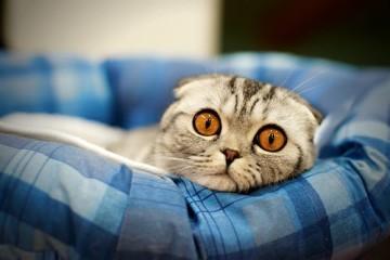 Питание для шотландских котов