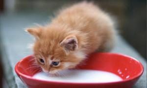 Как кормить котенка